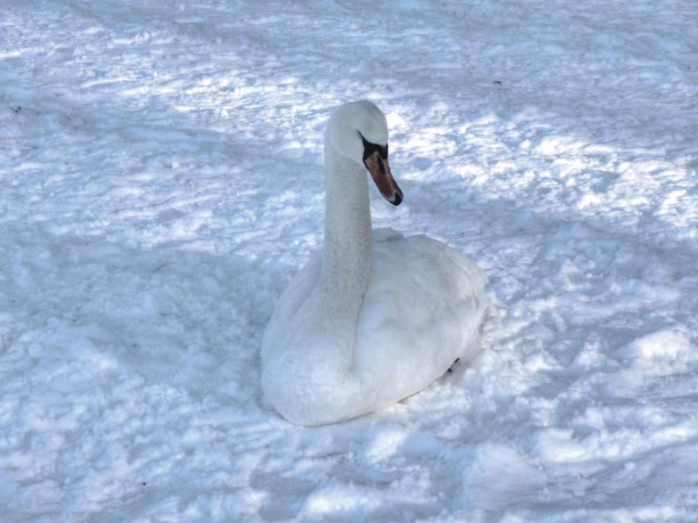 Der Schwan auf gefrorenem See macht noch keinen Schwanensee