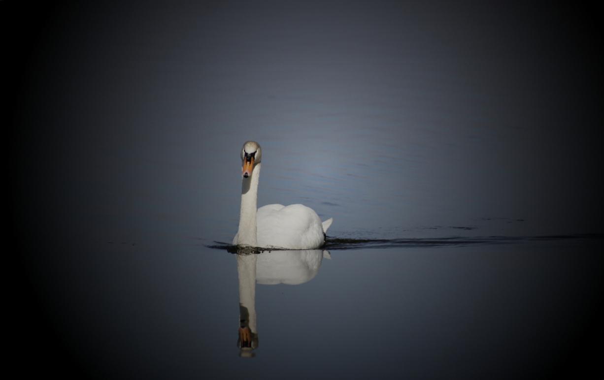 Der Schwan im See