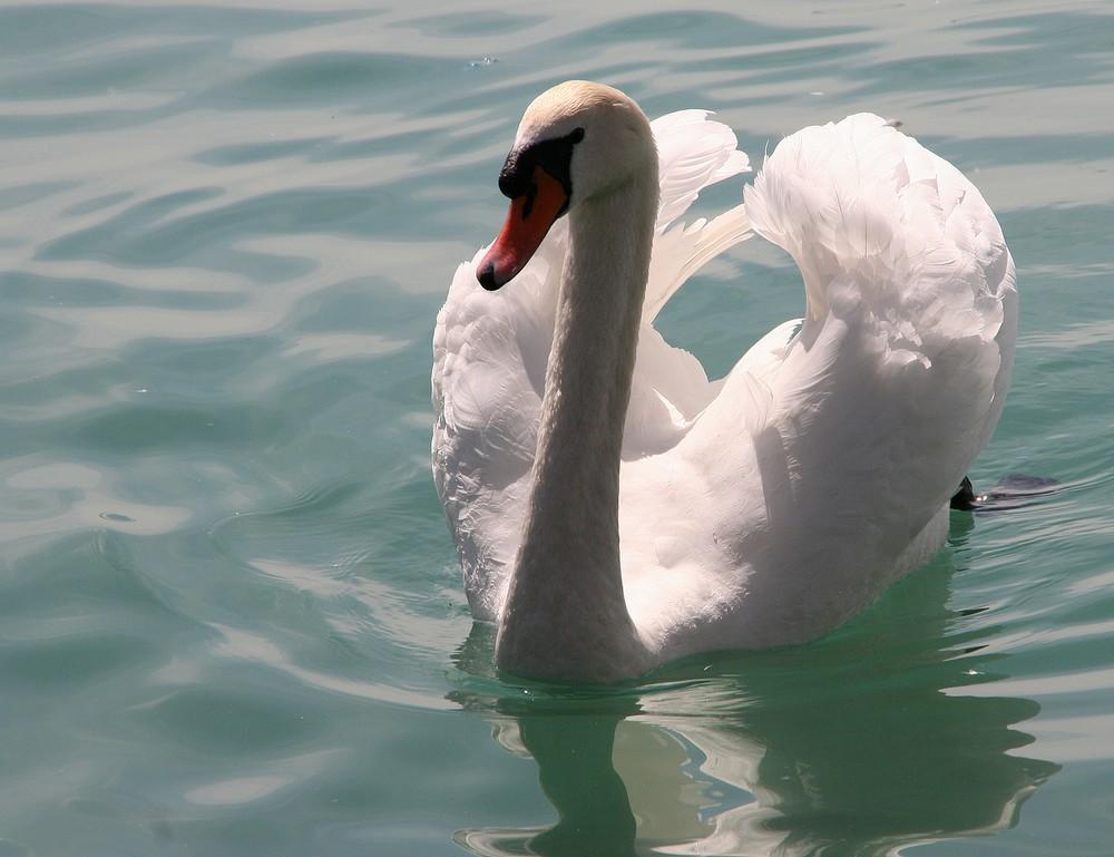 der schwan