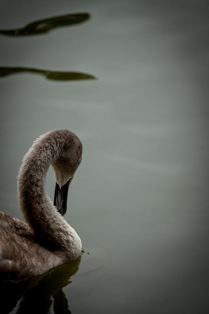 der schwan und seine anmut