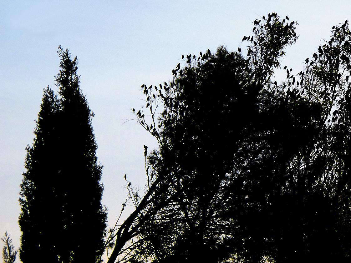 Der Schwarm der Stare kehrt zurück / Torna lo stormo di storni (3)