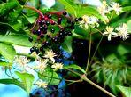 Der Schwarze Holunder 3 (Sambucus nigra)