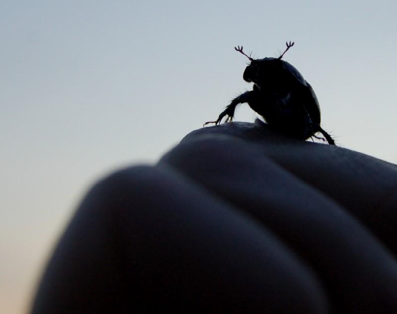 Der Schwarze Käfer