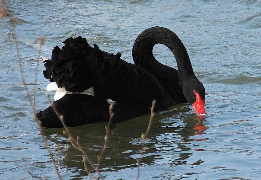Der schwarze Schwan 2