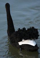 Der schwarze Schwan 3