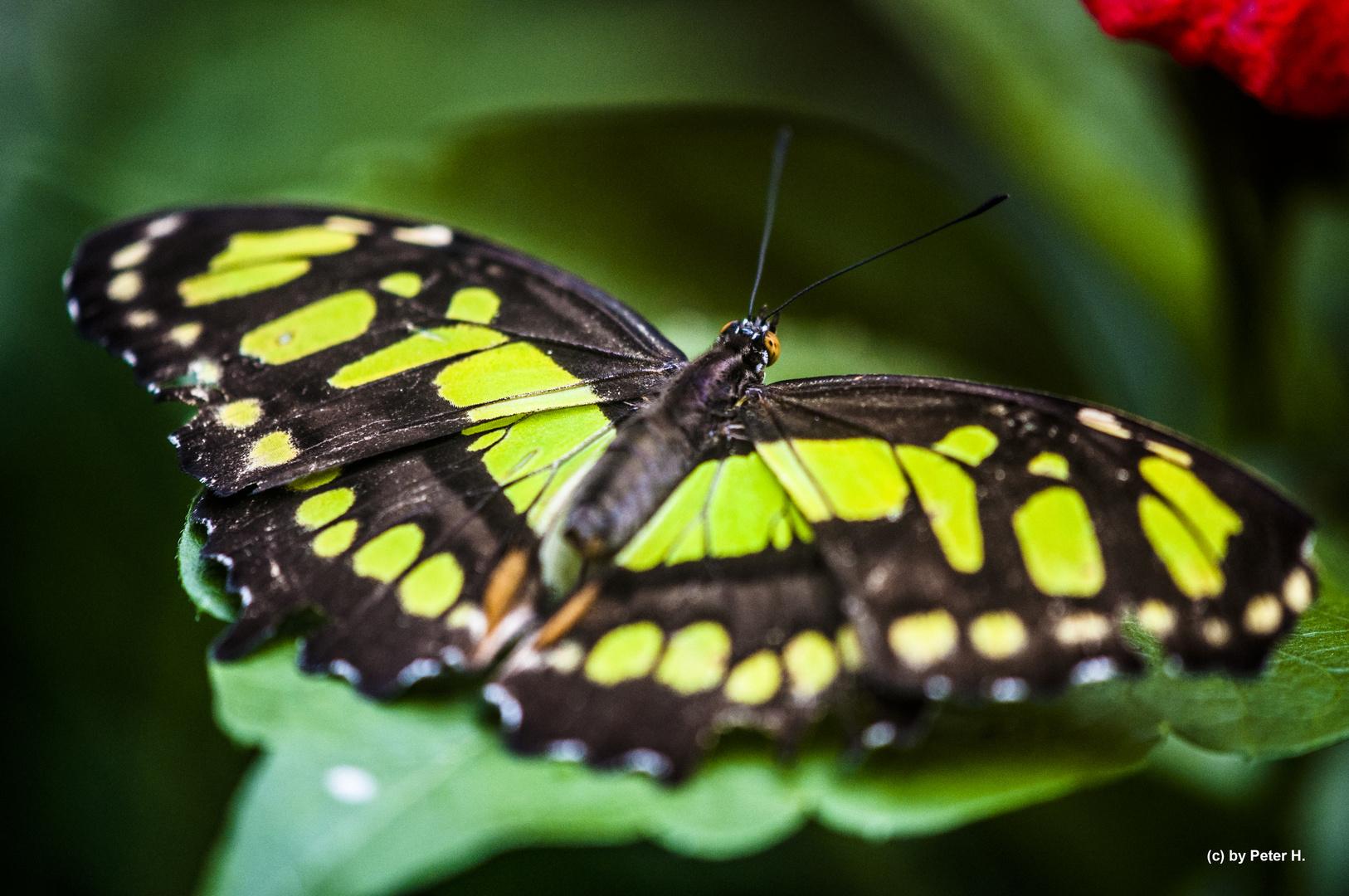 Der schwarz/grüne Schmetterling