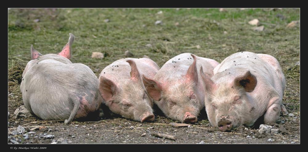 Der schweinische Individualist...