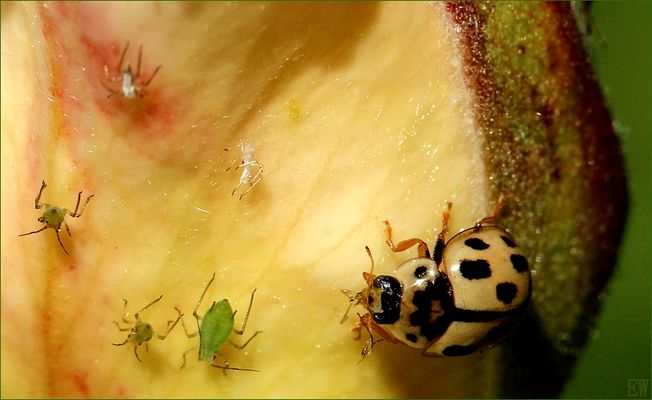 der Sechzehnpunkt-Marienkäfer 'Tytthaspis sedecimpunctata'...