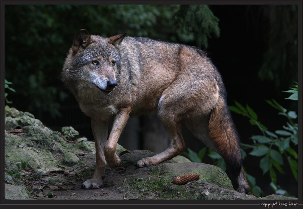 Der sich einen Wolf knipst