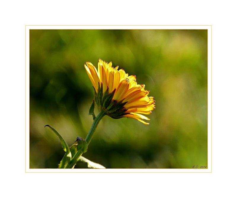 Der Sonne entgegen,reckte sich heute die Ringelblume....