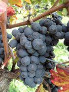 Der Spätburgunder, 1 Traube aber bis zu 4 verschiedene Weine, ähm sorry 5 sind es mittlerweile
