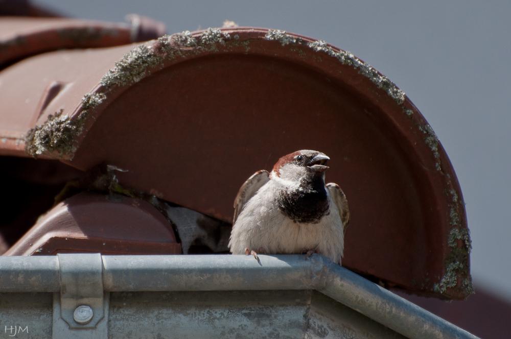Der Spatz auf dem Dach ...