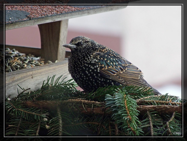 Der Star ein schöner Vogel mit einem unglaublichen Repertoire an Lauten und Gesang.