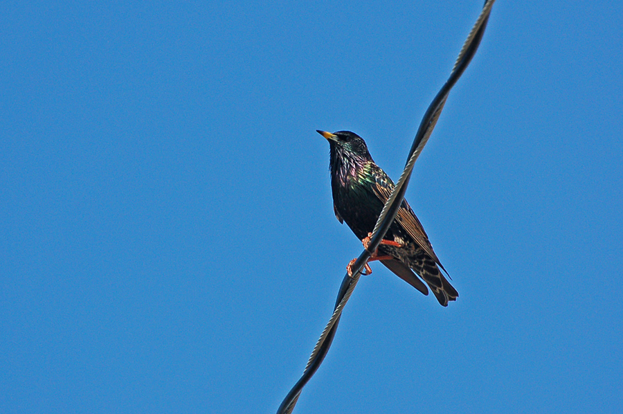 Der Star - European Starling (Sturnus vulgaris)...