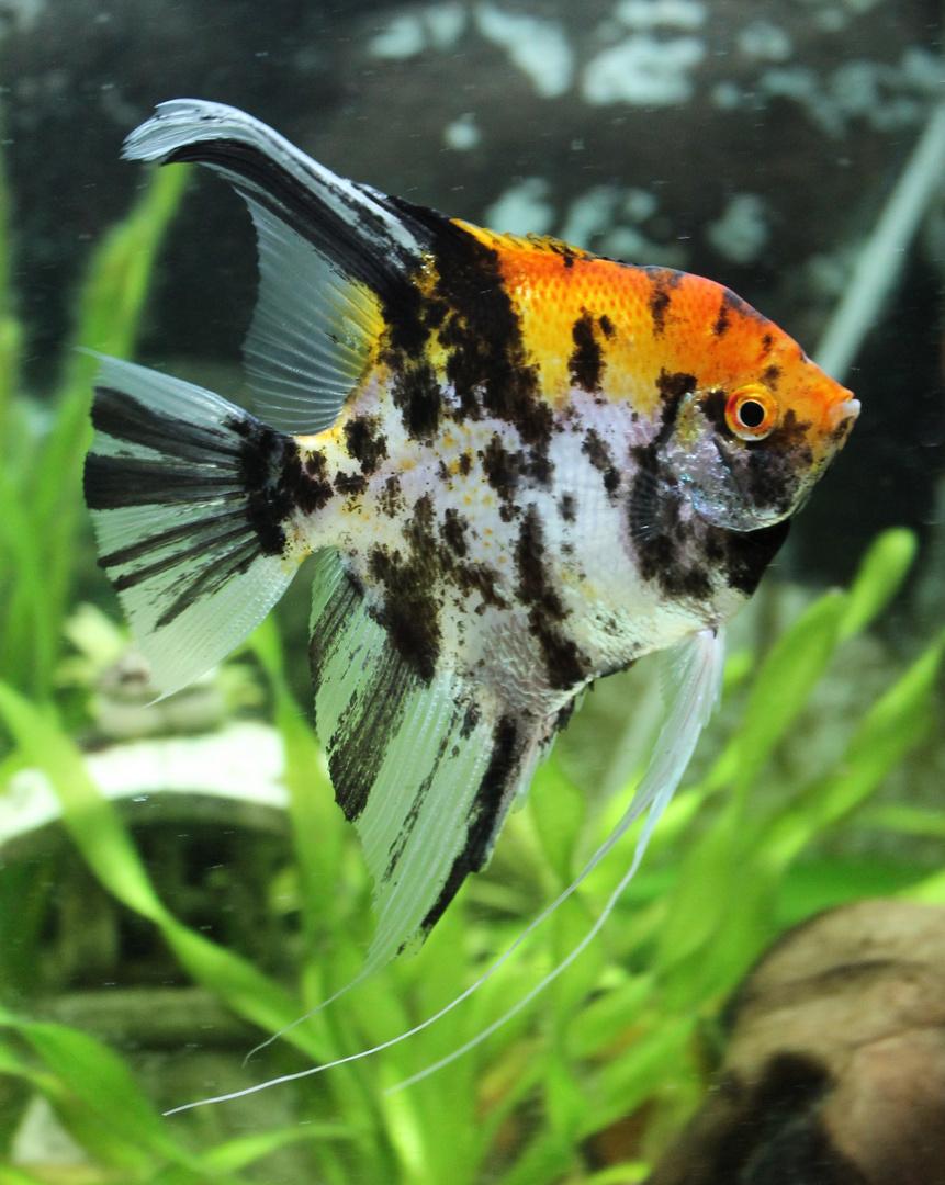 der Star in meinem Aquarium
