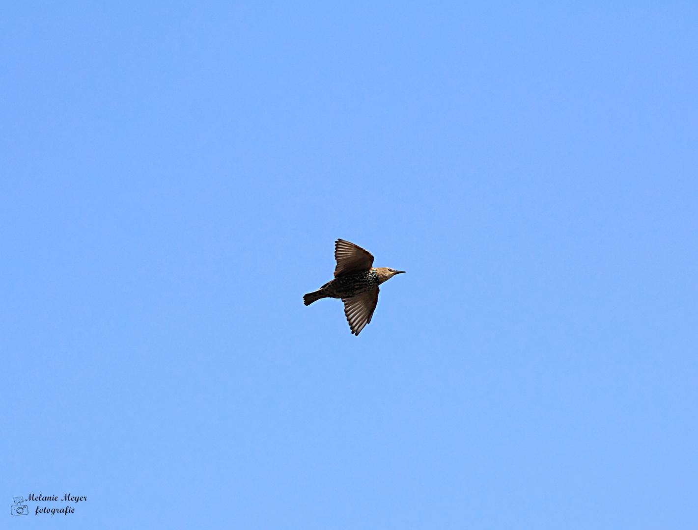 Der Star unter den Vögeln