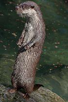 Der stehende Fischotter