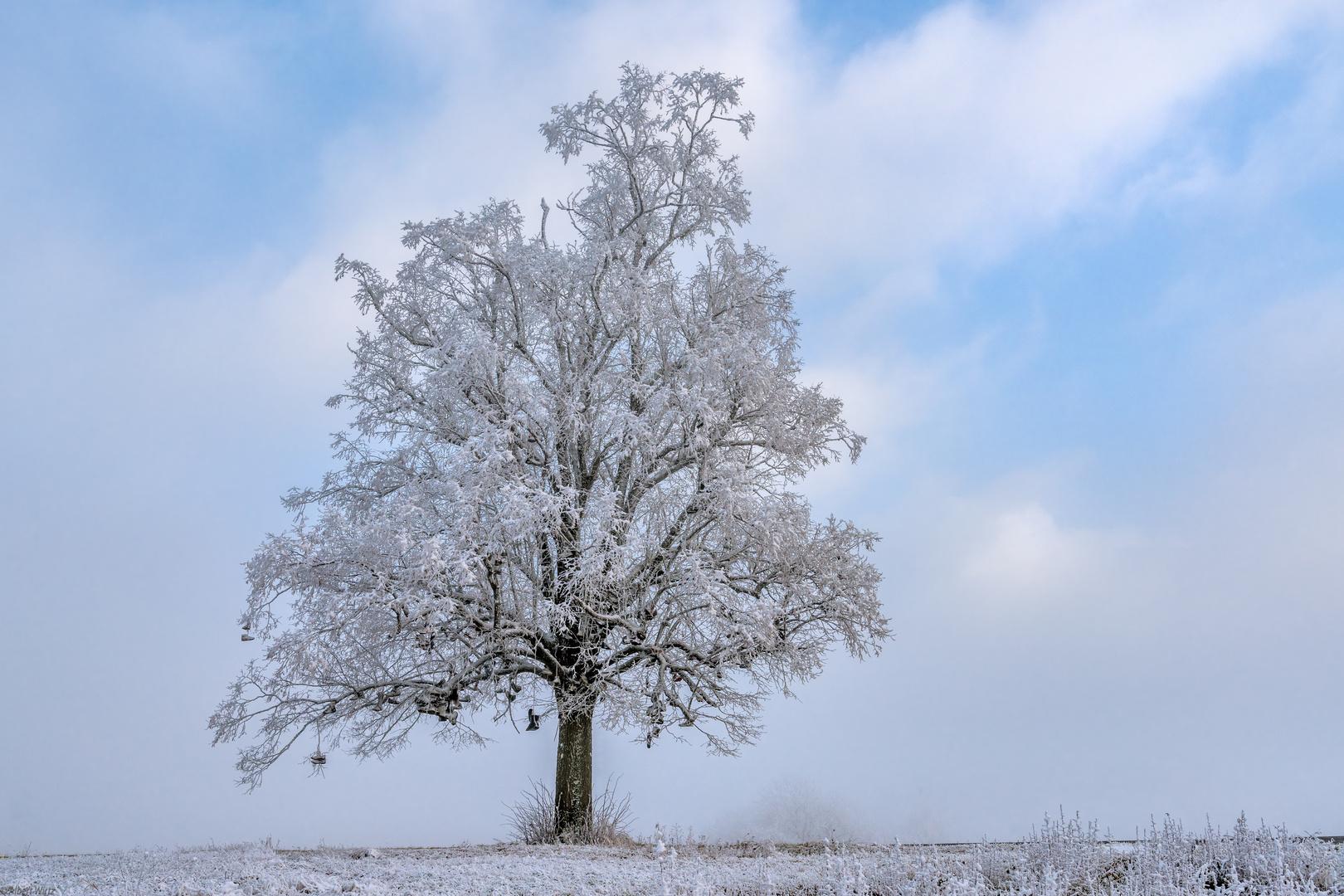 *Der Stiefelbaum von Hontheim/Eifel*