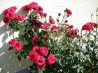 Der Stolz der Rose
