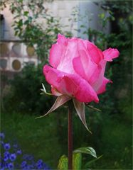 Der Stolz  einer  Rose