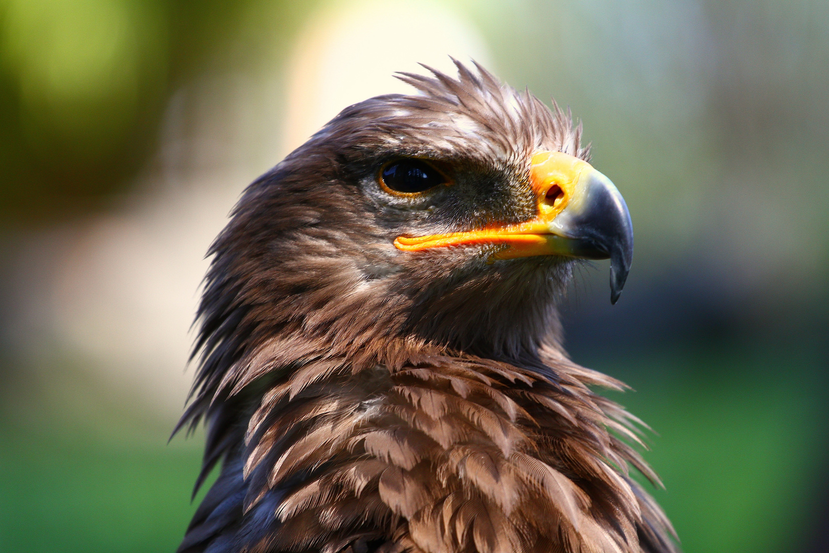 Der stolze Adler