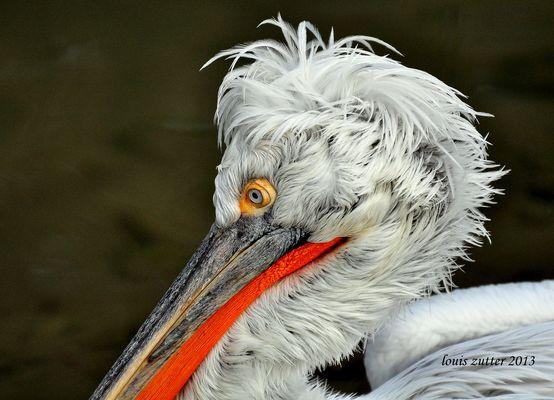 Der stolze Pelikan...........Frisch vom Coiffeuer