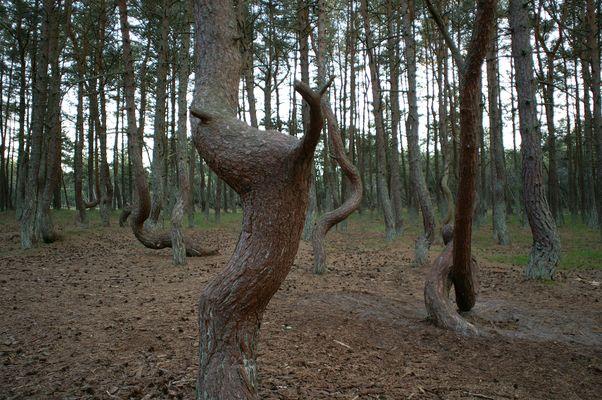 Der tanzende Wald - The dancing Forest
