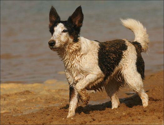 Der Terrier