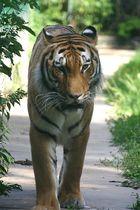 Der Tiger ..