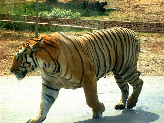 Der Tiger auf de Straße
