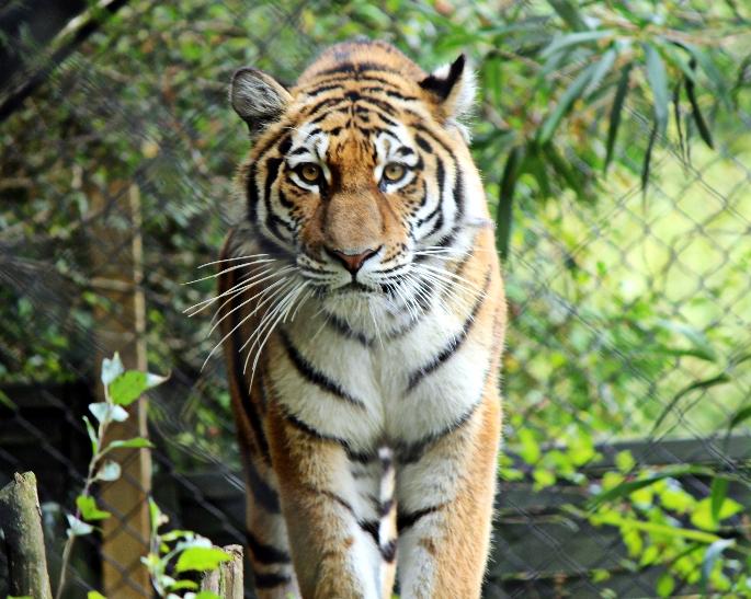 Der Tiger im Park