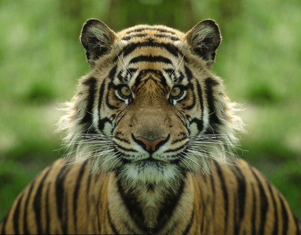 Der Tiger in sich...