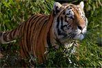 Der Tiger ist los!