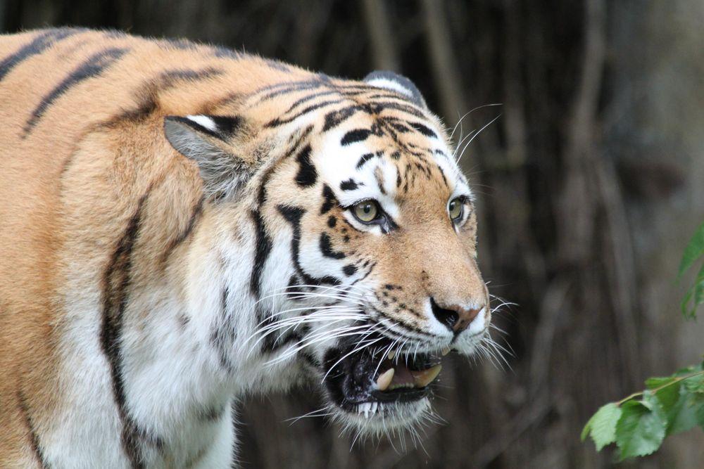 Der Tiger ist los von Michael Esser 84