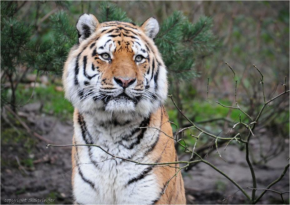 der tiger mit den s ssen ohren foto bild tiere zoo wildpark falknerei s ugetiere. Black Bedroom Furniture Sets. Home Design Ideas