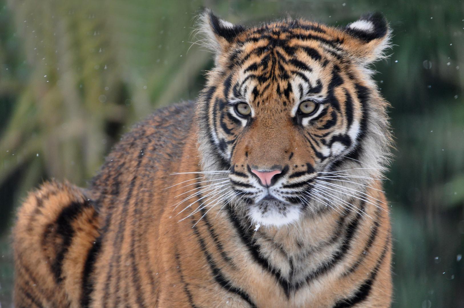 Der Tigerlady ganz nah .....