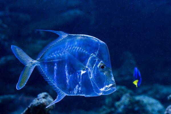 Der transparente Fisch