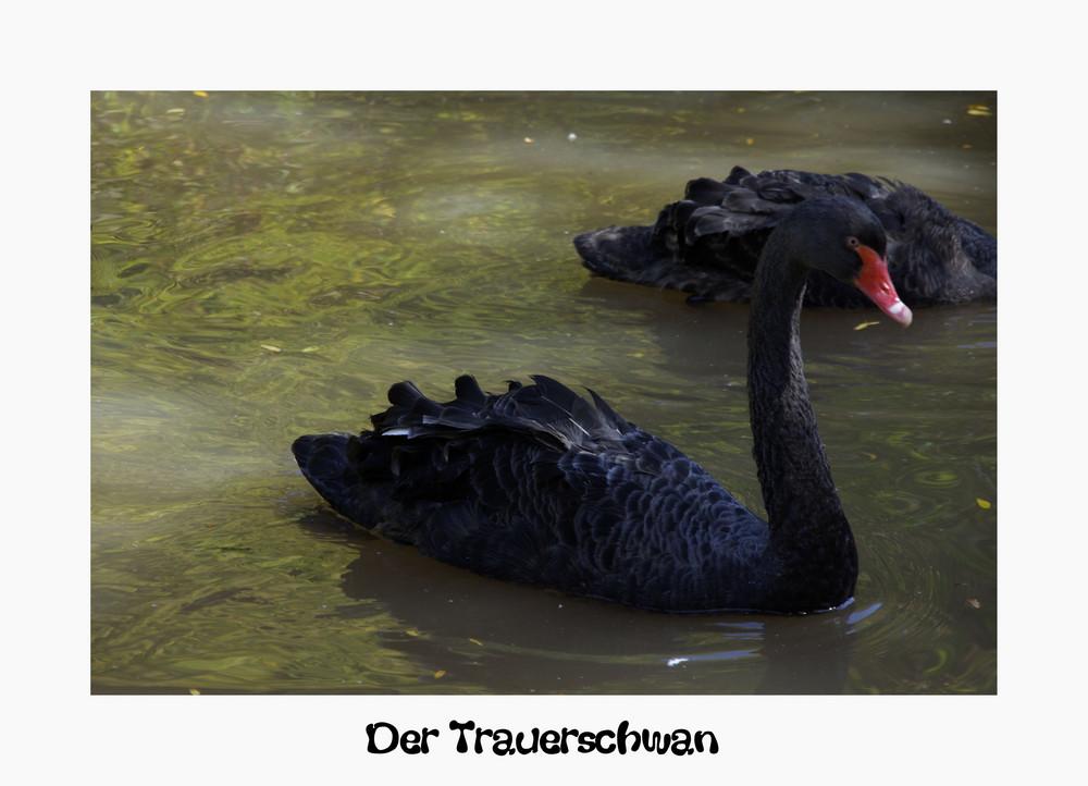 Der Trauerschwan