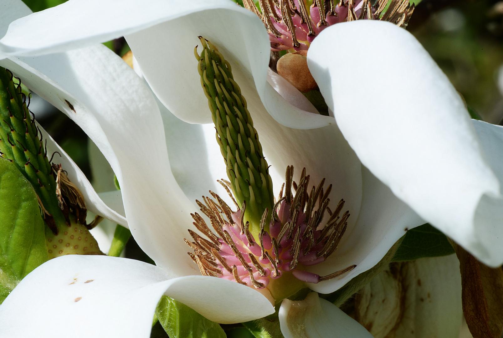 Der Tulpen-Magnolie sehr nahe gekommen