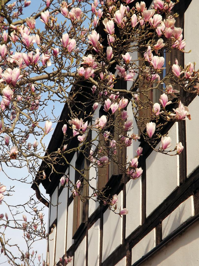 Der Tulpenbaum blüht