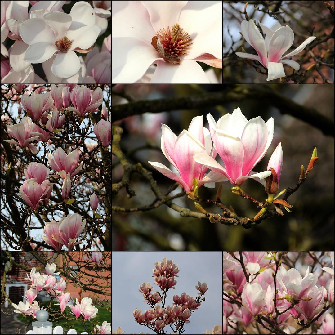 Der Tulpenbaum