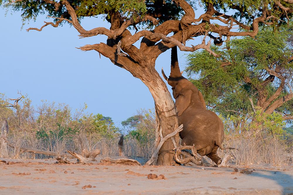 der um den Baum tanzt