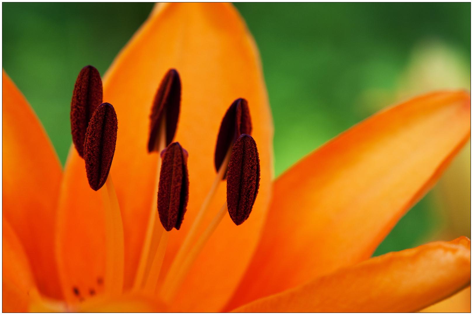 Der Ursprung aller Lilien