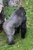 Der Vater des Gorillababys