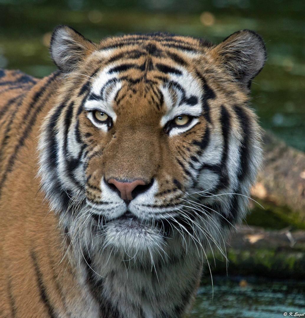 Der Vater vom Tiger