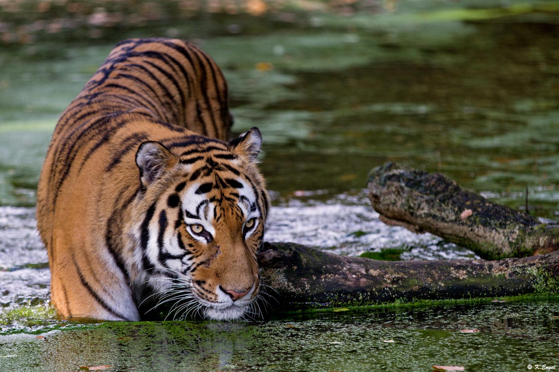 Der Vater von der Tigerente !!!