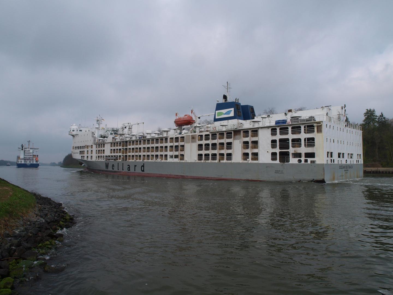 Der Viehtransporter OCEAN OUTBACK auf dem Nord-Ostsee-Kanal.
