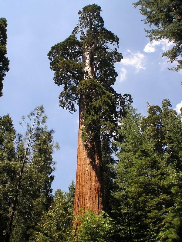 Der voluminöseste Baum der Erde
