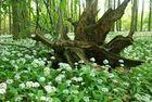 Der Wald blüht