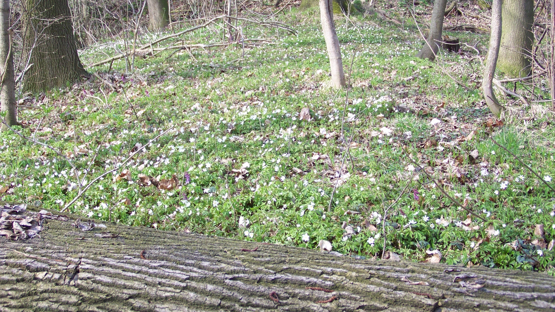 Der Wald blüht / la fôret fleurit